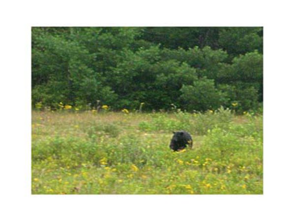 Visiting bear grazes in the field