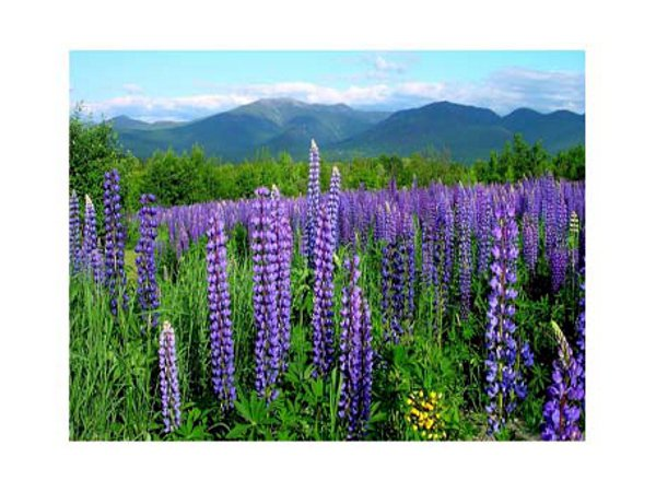 Blossoming Lupines in a nearby field