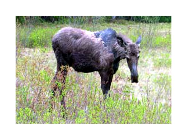 Young moose grazing at the Gale River Motel